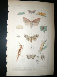 Cuvier C1835 Antique Hand Col Print. Sericora, Caterpillar, Notodonta 99 Moths